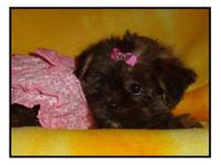We have 1 little Yorkie tzu female puppy left that is