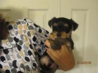 6 week s old Yorkie male. for sale. Raised indoors with