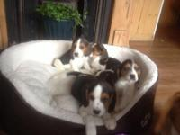 Hi there I have a stunning litter of beagle puppies