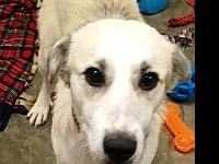 Cabaret's story Breed: Great Pyrenees Mix Age: 1 year