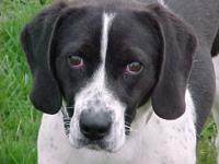Cabe is a super cute Beagle/Spaniel mix about a year
