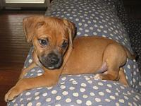 Cadan's story Cadan is a male Boxer mix puppy. He is