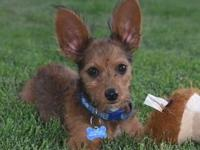 My story Cadbury is a great little pup who is 90% ears