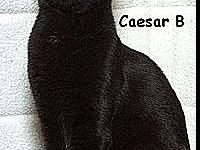 Caesar B's story Caesar is a black DSH neutered male