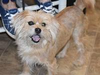 Caesar's story Caesar is a 5 year old silky terrier