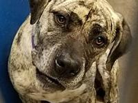 Cage 02's story Tiger-striped Mastiff mix with purple