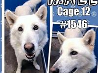 Cage 12 - 1546's story 1546 White male Husky/Shepherd