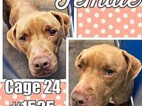 Cage 24 - 1535's story 1535 Beautiful female Lab/Bully