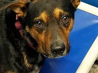 Cage 26's story Axel, Male Black and Brown Blue Heeler
