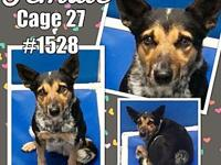Cage 27 - 1528's story 1528 Adorable female Heeler mix