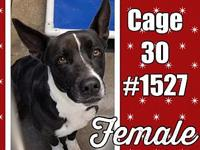 Cage 30 - 1527's story 1527 Adorable female Heeler mix