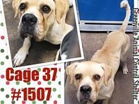 Cage 37 - 1507's story 1507 Adorable male Boxer mix is