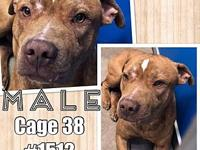 Cage 38 - 1512's story 1512 Male Bully mix was brought