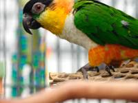 Caique - Dixie - Medium - Young - Female - Bird Dixie