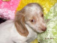 CAIRA is a female longhair extreme piebald (red & &