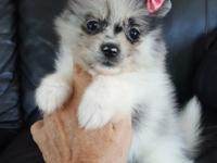 She will be very exotic looking Pomeranian. Puppy will