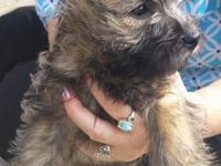 Wheaten Brindle Female. Available ......Ready Now
