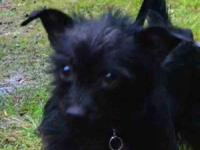 Cairn Terrier - Asher - Small - Baby - Male - Dog To