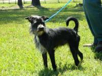Cairn Terrier - Bailey - Small - Adult - Male - Dog
