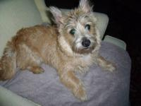Cairn Terrier - Betsy - Small - Young - Female - Dog