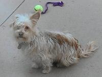 Cairn Terrier - Browny - Small - Young - Female - Dog