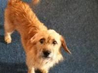 Cairn Terrier - Haylay - Small - Adult - Female - Dog