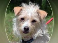 Cairn Terrier - Jack - Small - Adult - Male - Dog Jack