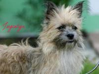 Cairn Terrier - Jocelyn - Small - Young - Female - Dog