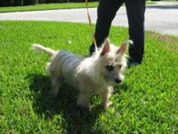 Cairn Terrier - Kieron - Small - Adult - Male - Dog