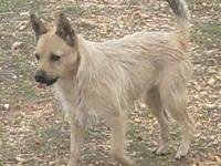 Cairn Terrier - Lannah - Small - Adult - Female - Dog
