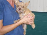 Cairn Terrier - Mako - Small - Adult - Male - Dog