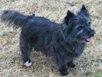 Cairn Terrier - Nikoli - Small - Adult - Male - Dog