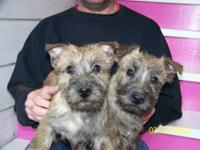 Cairn Terrier Puppies(same breed as Toto from the