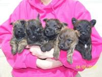 Cairn Terrier Puppies(very same type as Toto from the