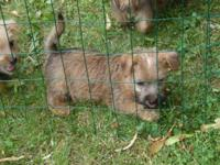 Cairn Terrier puppies. 2 males, 1 female. First Shots,