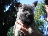Cairn Terrier Puppies 10 weeks old 2 females 1 male
