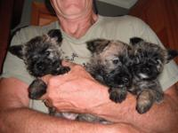 Cairn Terrier Puppies litter of 5 ;3 f / 2m as of