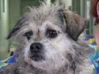 Cairn Terrier - Sammy - Small - Adult - Female - Dog