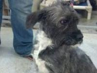 Cairn Terrier - Shiloh - Medium - Adult - Female - Dog