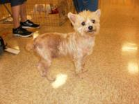 Cairn Terrier - Tigger Lilly - Small - Adult - Female -