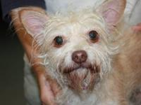 Cairn Terrier - Tweak - Small - Adult - Male - Dog To