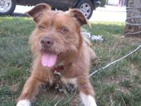 Cairn Terrier - Zoey - Small - Young - Female - Dog