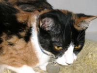 Calico - 13832 - Medium - Adult - Female - Cat Gorgeous