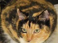 Calico - Alice - Medium - Adult - Female - Cat Alice is