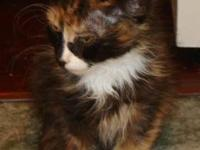 Calico - Amber - Small - Baby - Female - Cat Amber is a