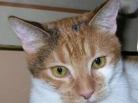 Calico - Aries - Medium - Young - Female - Cat Aries is
