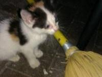 Calico - Baby Opal - Small - Baby - Female - Cat Sweet
