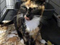 Calico - Bandi - Medium - Adult - Female - Cat Bandi is