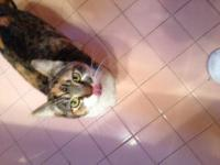 Calico - Beagle - Medium - Young - Female - Cat DOB: