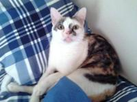 Calico - Beatriz - Medium - Senior - Female - Cat